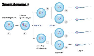 Spermatogenesis diagram