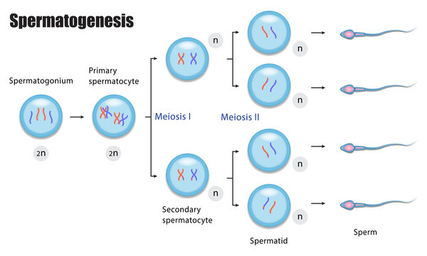 The different stages of Spermatogenesis diagram, During gametogenesis