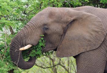 Elephant feed green leaves