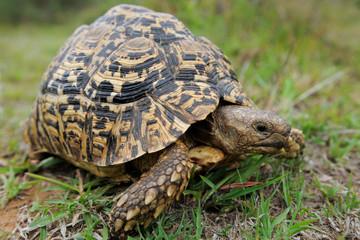 Leopard tortoise in green grass