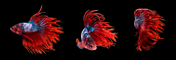 Siamese fighting fish or betta, multicolor body with red crown tail.