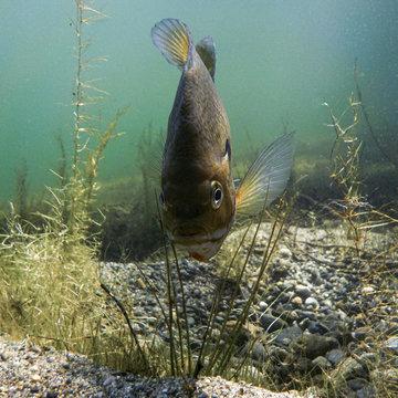 Bluegill under the water