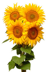 Fototapete - Sunflowers bouquet with leaves isolated on white background. Sun symbol. Flowers yellow, agriculture. Seeds and oil. Flat lay, top view. Bio. Eco. Creative