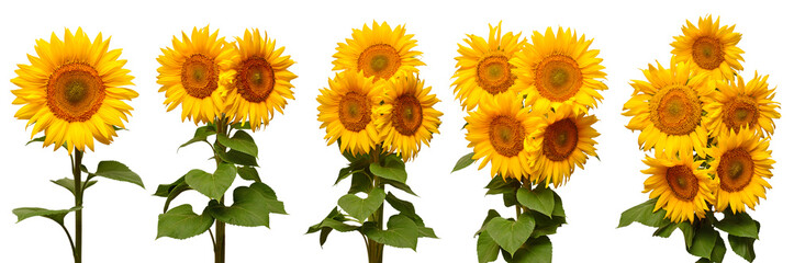 Fototapete - Sunflowers collection various bouquet isolated on white background. Sun symbol. Flowers yellow, agriculture. Seeds and oil. Flat lay, top view. Bio. Eco