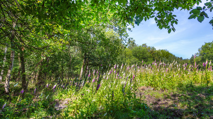 Wall Mural - Landscape colorful sunny forest with treess, plants and purple blooming foxgloves