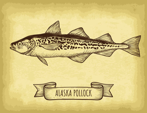 Hand drawn alaska pollock fish isolated. Old craft paper texture background. Ribbon banner. Engraved style vector illustration. Template for your design works.