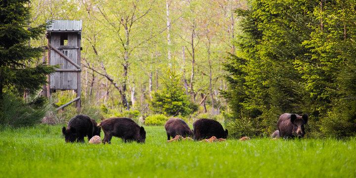 Wild boar group