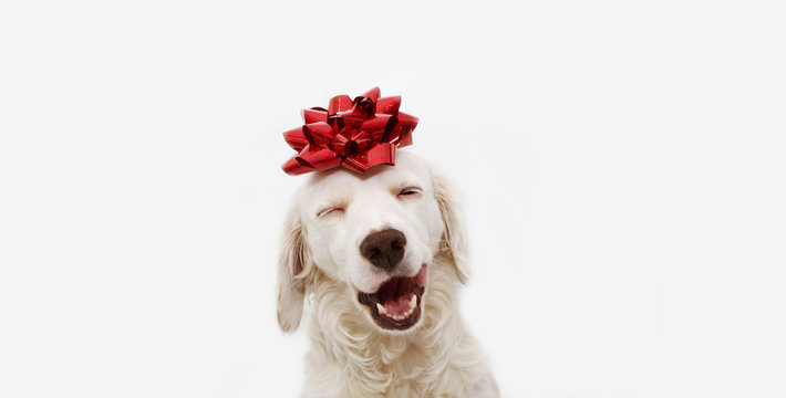 Happy dog present for christmas, birthday or anniversary, wearing a red ribbon on head. isolated against white background.
