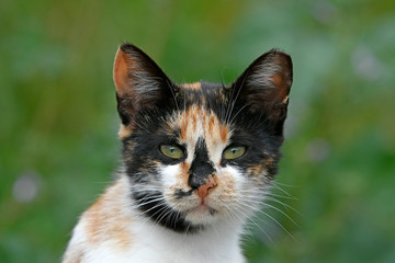 Photo Blinds Cat Hauskatze (Felis silvestris catus) - cat