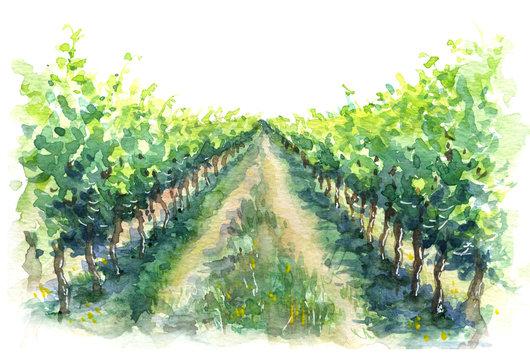 Rural Scene Fragment of Vineyard Watercolor Sketch