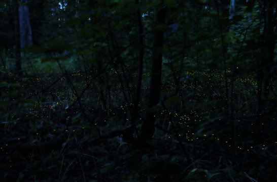 Fireflies seeking mates light up in synchronised bursts in the Bourget Park in Lausanne
