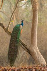 Golden Peacock on open branch