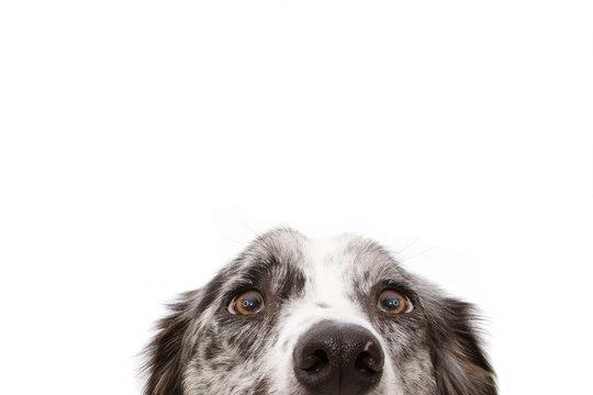 Close-up  blue merle border collie dog eyes. Isolated on white background.