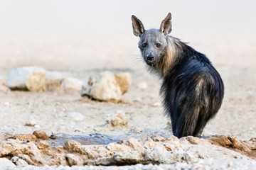 Brown hyena portrait focused straight into the camera just after drinking water in the kgalagadi. South Africa. Hyaena brunnea