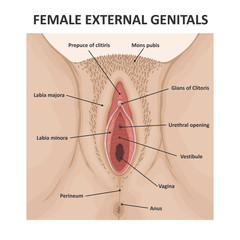 Female external genitals. Medical poster female anatomy vagina
