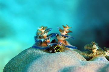 Multi-colored Christmas Tree Worm (Spirobranchus giganteus) on a Coral. Flores, Indonesia