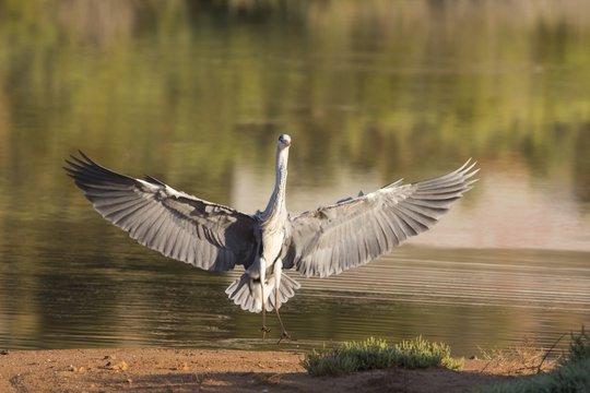 Landing Grey heron Ardea Cinerea