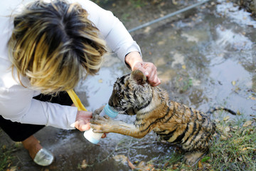 A veterinarian feeds a tiger cub with milk at Al Zawra zoo in Baghdad