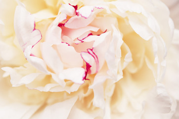Close up of beautiful white peony flower. Natural background. - Image