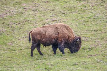 Canvas Prints Bison wild bison grazing at a field