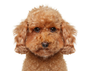 Wall Mural - Close-up of a Toy Poodle puppy on white background
