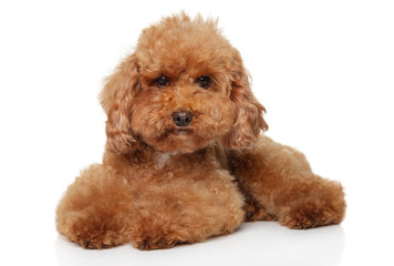 Wall Mural - Red Toy Poodle puppy lying on white background