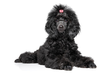 Wall Mural - Black Toy Poodle puppy on white background