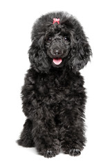 Happy Toy Poodle puppy on white background