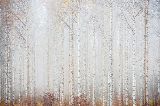 Birch forest in fog. Autumn landscape in Finland.