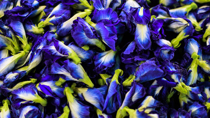 Foto op Plexiglas Paradijsvogel Clitoria ternatea, purple or pea flowers, Pattern and Background, medicinal plants
