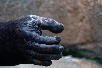 zoom of chimpanzee's hand