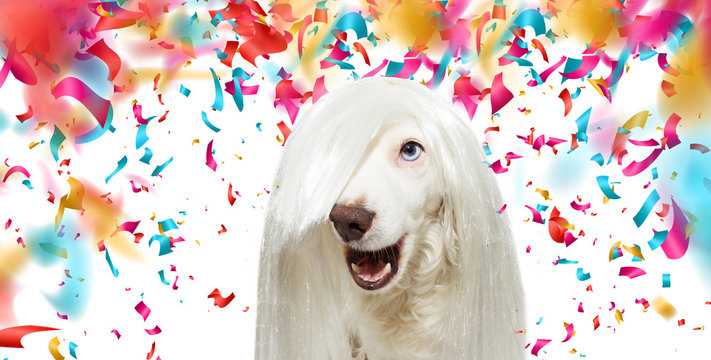 BANNER FUNNY ROCKY DOG WEARING A WHITE WIG FOR CARNIVAL OR NEW YEAR PARTY.  ISOLATED ON WHITE BACKGROUND WITH COLORFUL CONFETTI FALLING.