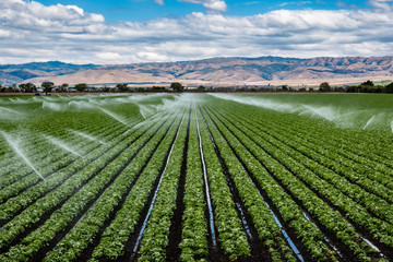 A field irrigation sprinkler system waters rows of lettuce crops on farmland in the Salinas Valley of central California, in Monterey County, on a partly cloudy day in spring.   Wall mural