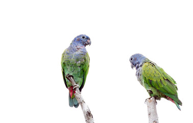 Couple of Blue-headed Parrot (Pionus menstruus)perched onn a tree Fotoväggar