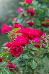 Obraz Piękny ogrodowy krzew czerwony róży - fototapety do salonu