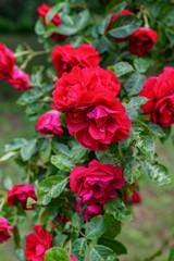Fototapeta Piękny ogrodowy krzew czerwony róży obraz