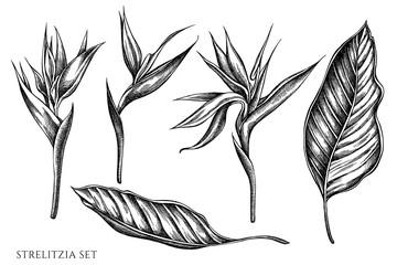 Vector set of hand drawn black and white strelitzia