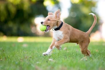 A playful red and white mixed breed puppy running through the grass with a ball in its mouth Fotoväggar