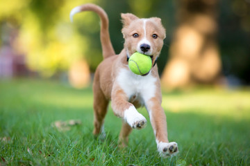 A playful red and white mixed breed puppy running through the grass with a ball in its mouth Wall mural