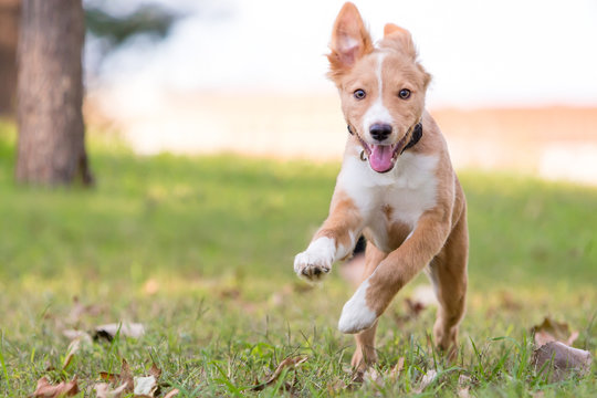 A playful red and white mixed breed puppy running through the grass with a happy expression