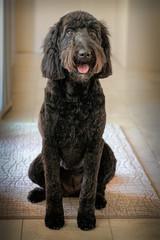 Happy Black Goldendoodle Sitting Indoors