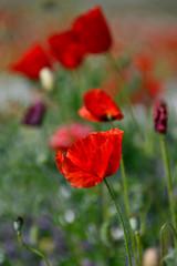 red summer poppy field