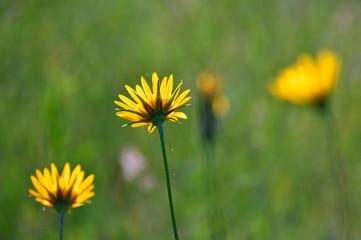 fresh yellow summer flower