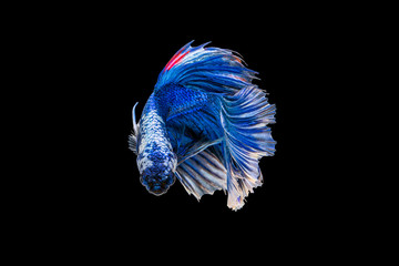 Foto op Plexiglas Vissen The moving moment beautiful of blue siamese betta fish or fancy betta splendens fighting fish in thailand on black background. Thailand called Pla-kad or half moon biting fish.