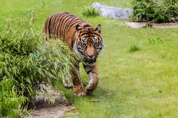 Zoo de la Flèche - Tigre