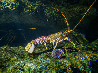 Crawling spiny lobster in aquarium de La Rochelle, France