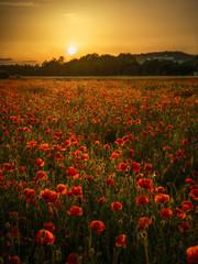 Sonne und Mohn - Poppy sunset