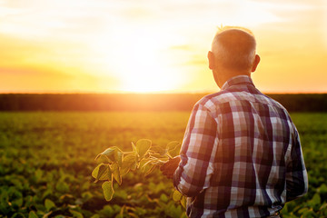 Rear view of senior farmer standing in soybean field examining crop at sunset. Wall mural