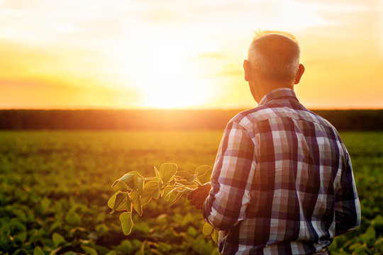 Rear view of senior farmer standing in soybean field examining crop at sunset.