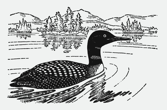 Common loon or great northern diver, gavia immer swimming on a lake in a landscape with trees and mountains. Illustration after an antique engraving from the early 20th century